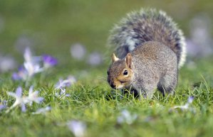 squirrel-spring_1597641i